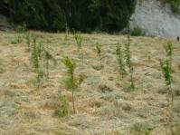 Trees amongst cut grass5