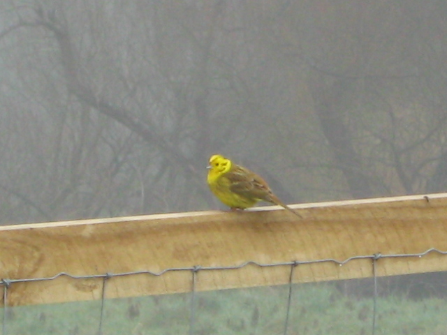 Little yellow bird in the mist