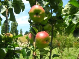 Our Apples