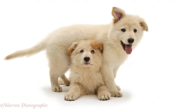 White German Shepherd Dog pups