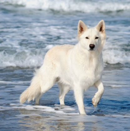 white-shepherd-dog
